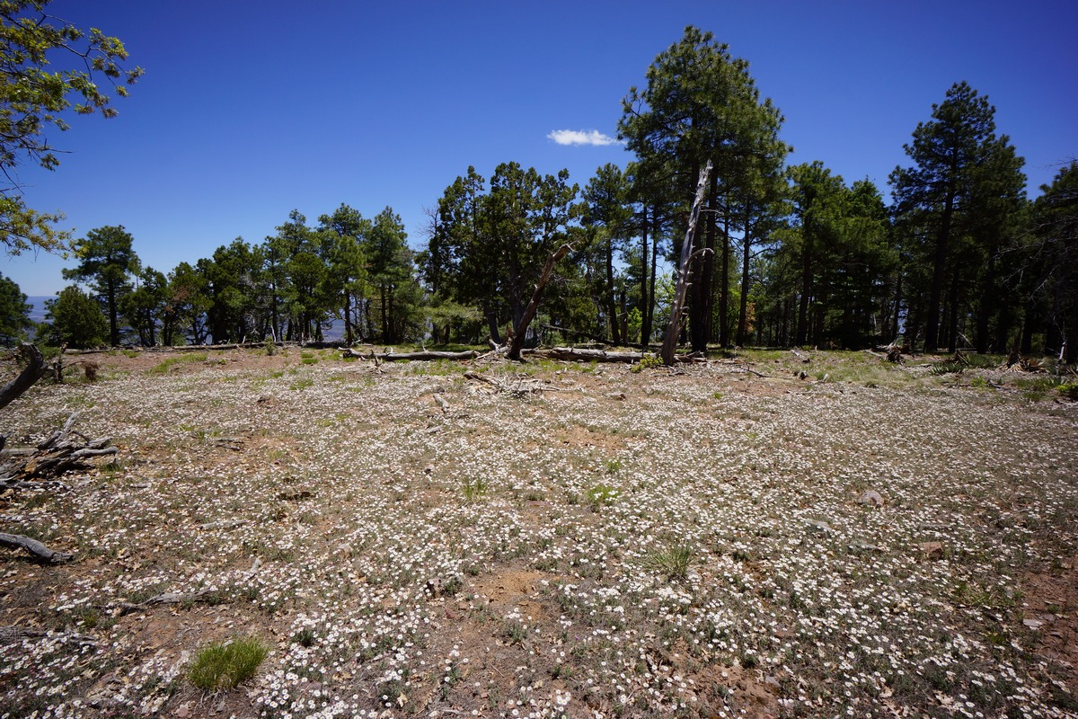 thousands of white flowers on the ground below tall pine trees