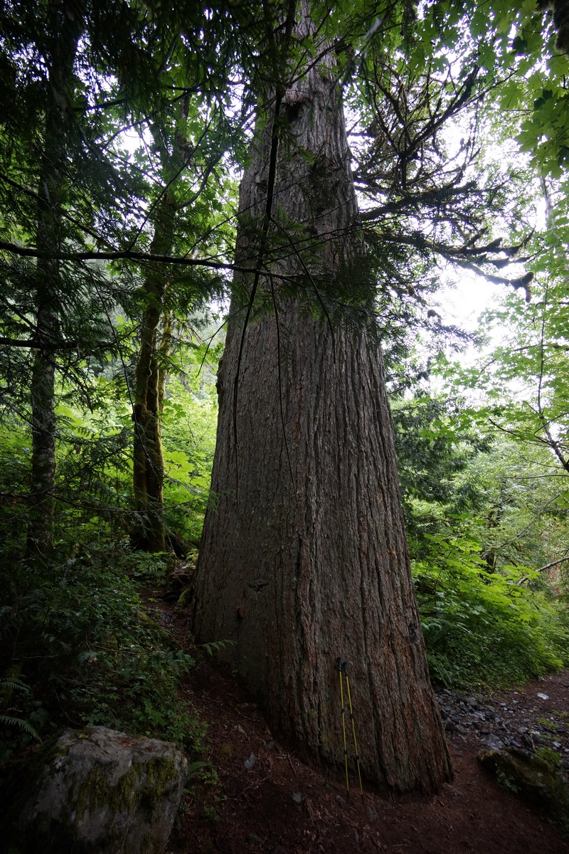 giant tree in alpine lakes wilderness
