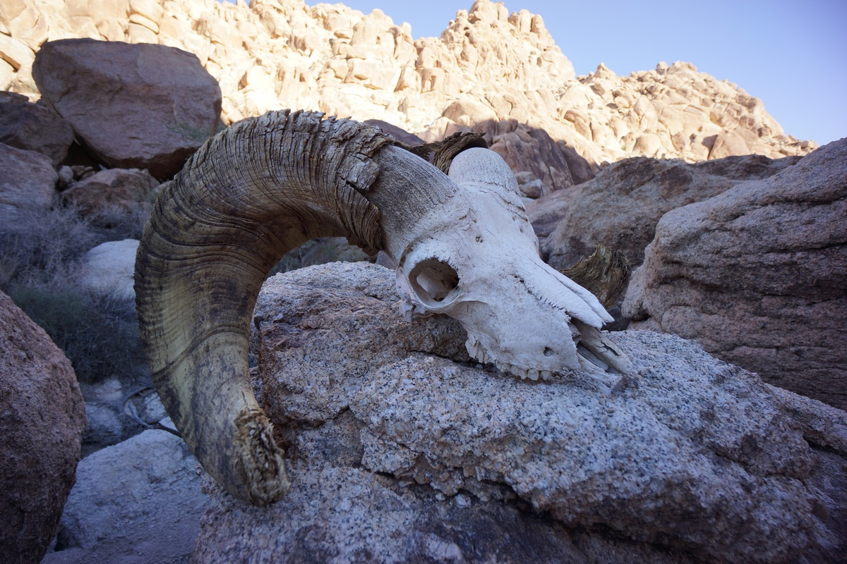 skull of a big horn sheep sits on boulder in the coxcomb mountains