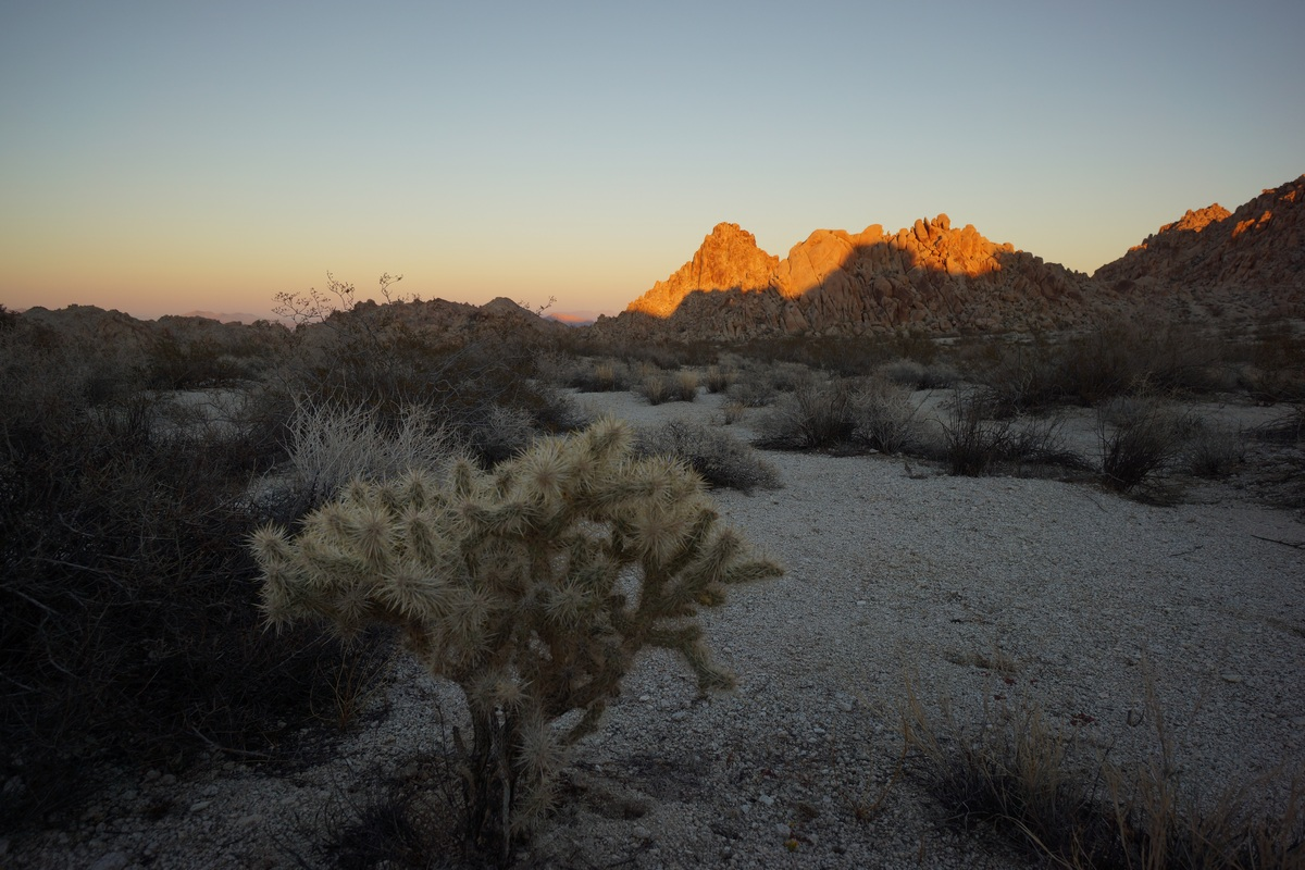cholla cactus at sunset in the coxcomb mountains