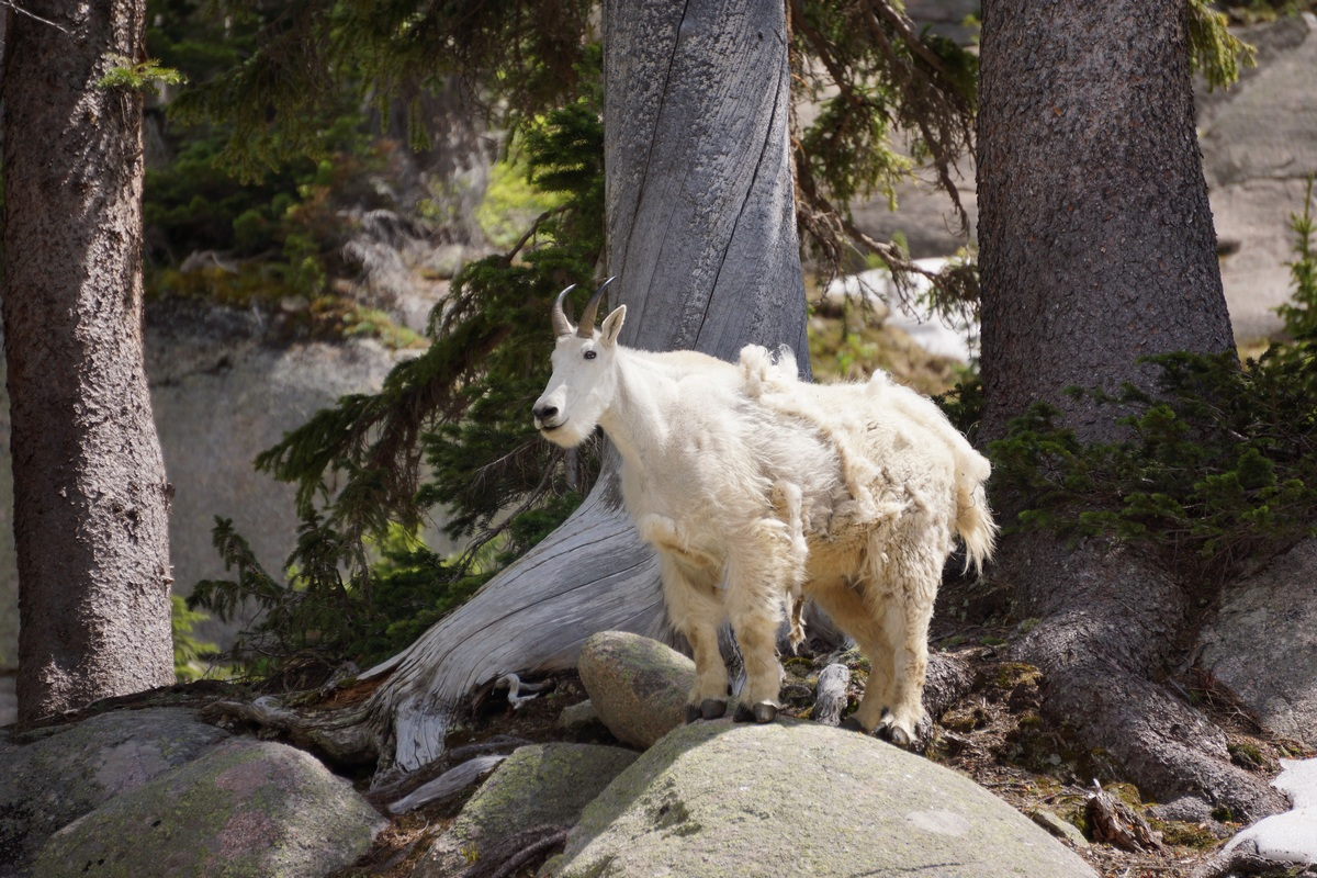 gore lake mountain goat