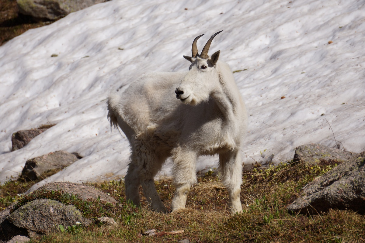 mountain goat along the edge of snow in the gore mountains of colorado