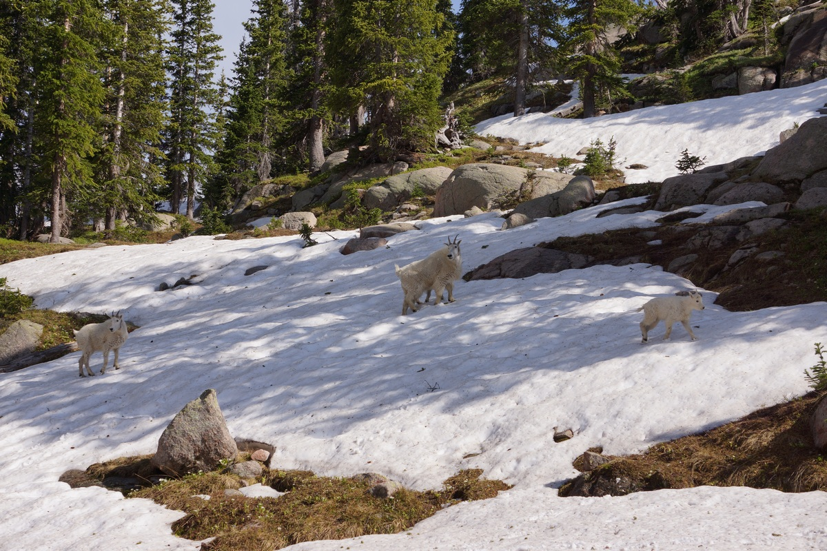 3 mountain goats moving through snowy hillside in the gore mountains - eagles nest wilderness colorado