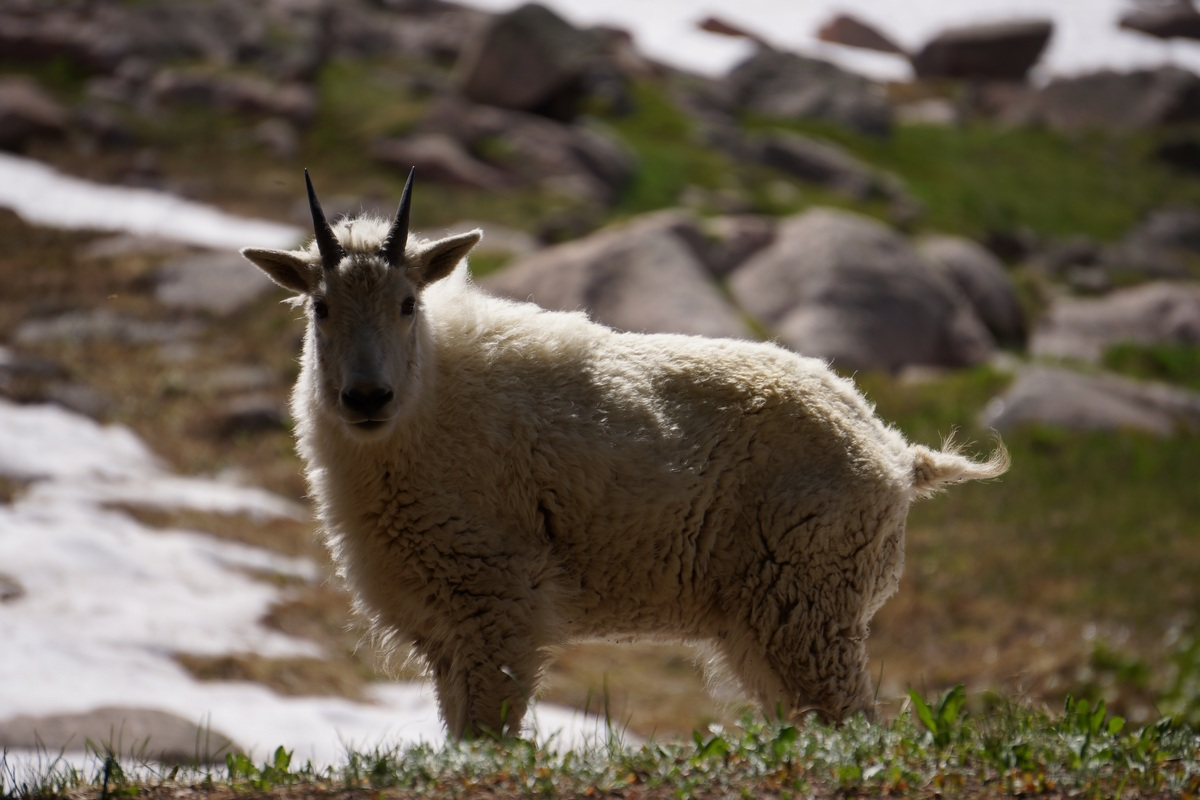 close up of mountain goat near gore lake