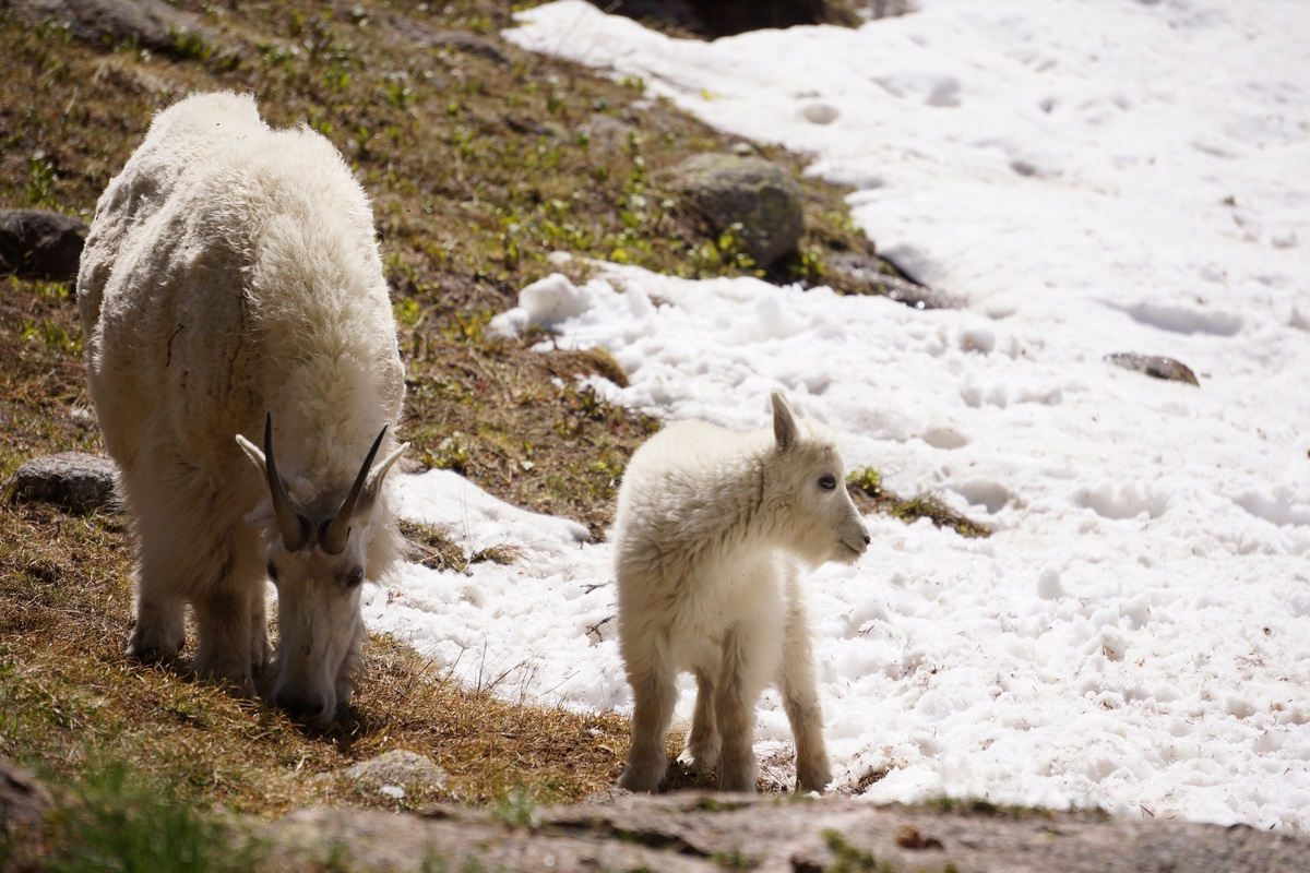 baby mountain goat with mother
