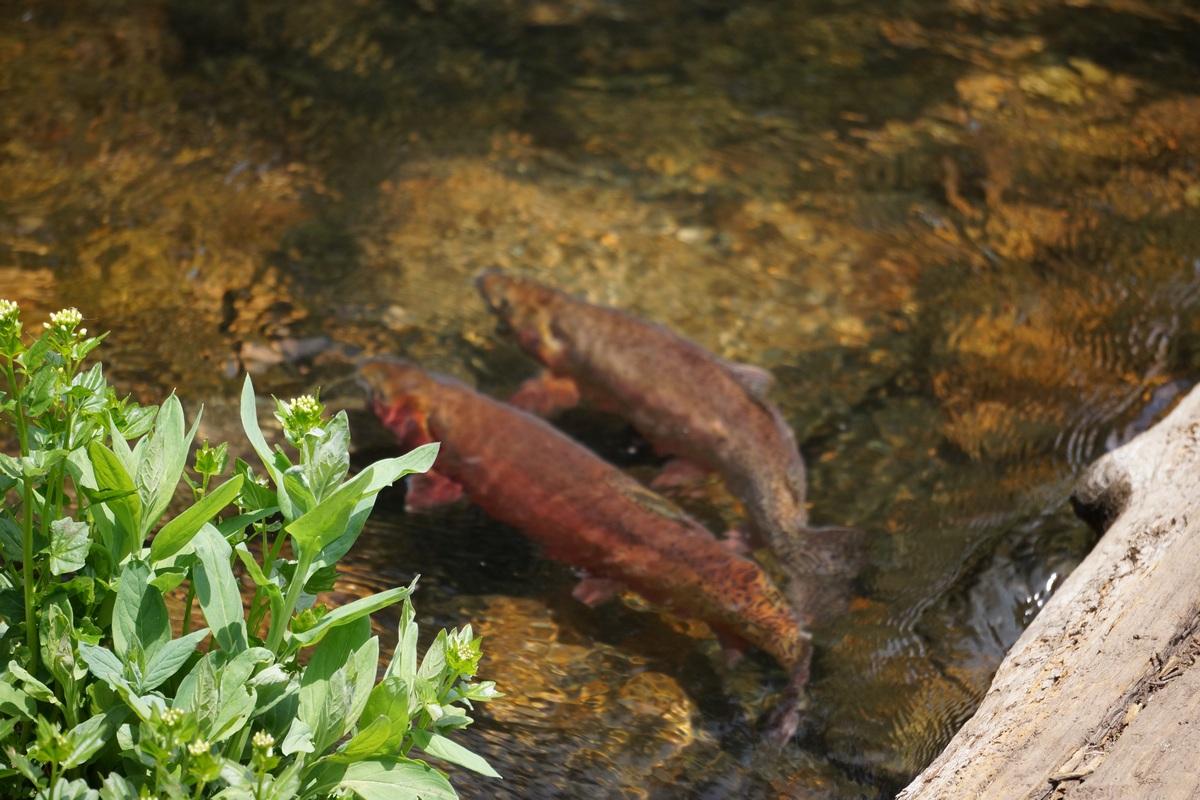 gore lake trout