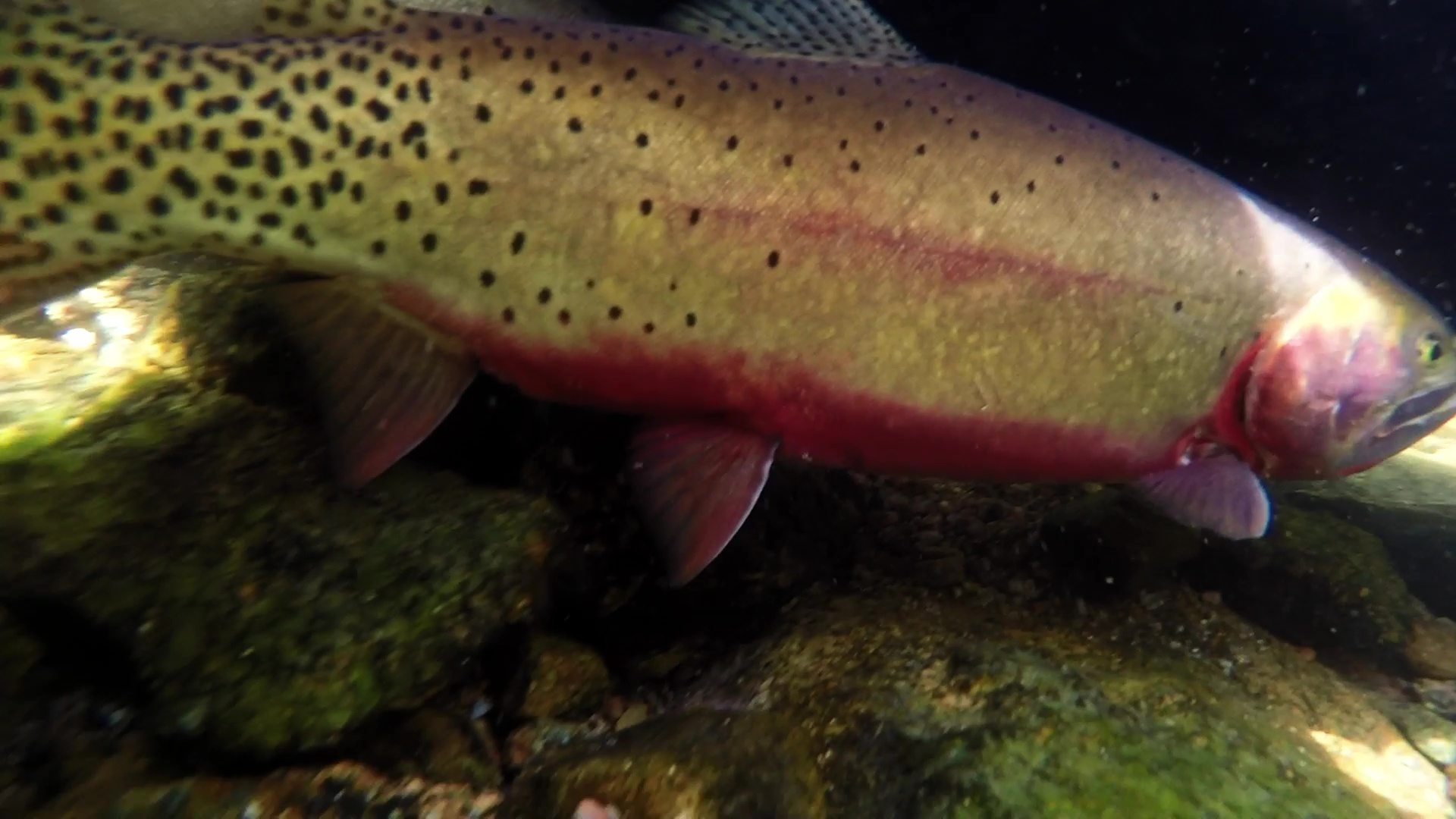 very large cutthroat trout in an alpine lake in colorado's gore mountains