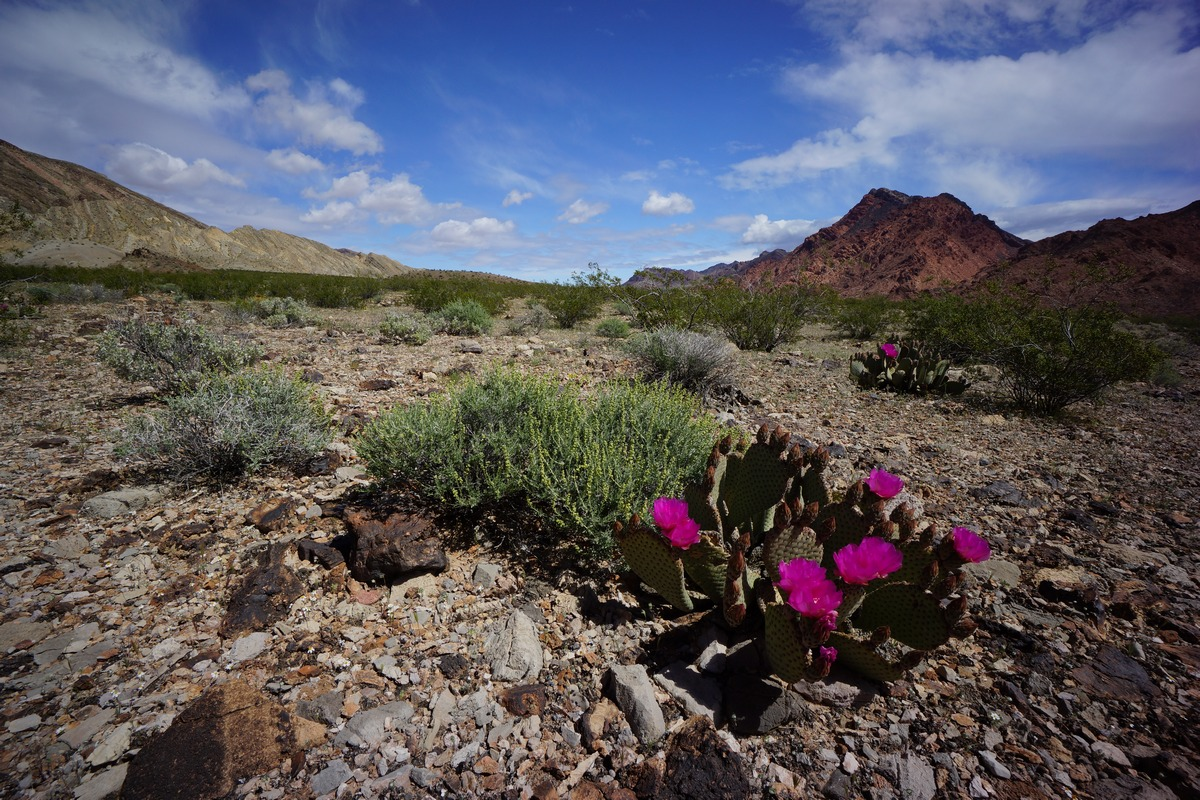 prickly pear cactus flowers in bloom in the pinto valley wilderness