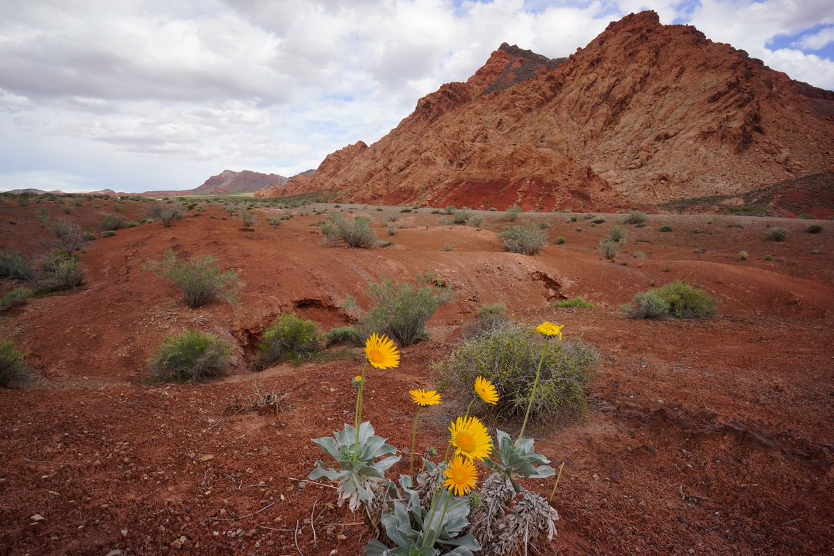 flowers in front of sentinel peak - pinto valley wilderness