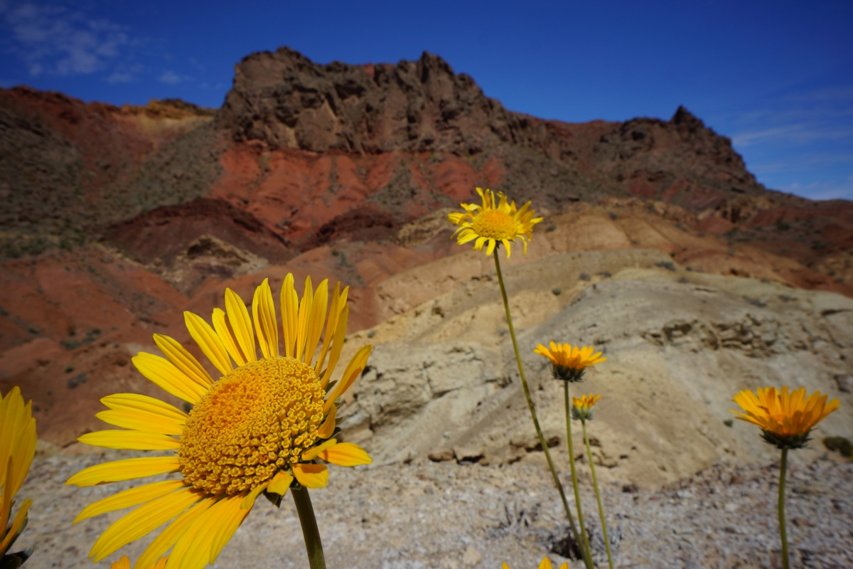 sunflowers in front of colorful mountain background