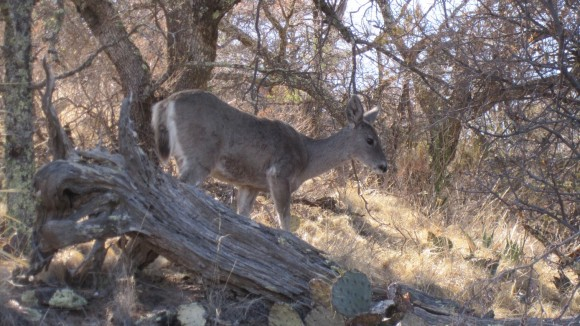 colima trail deer