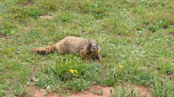 a marmot bumbling around on a mountain pass