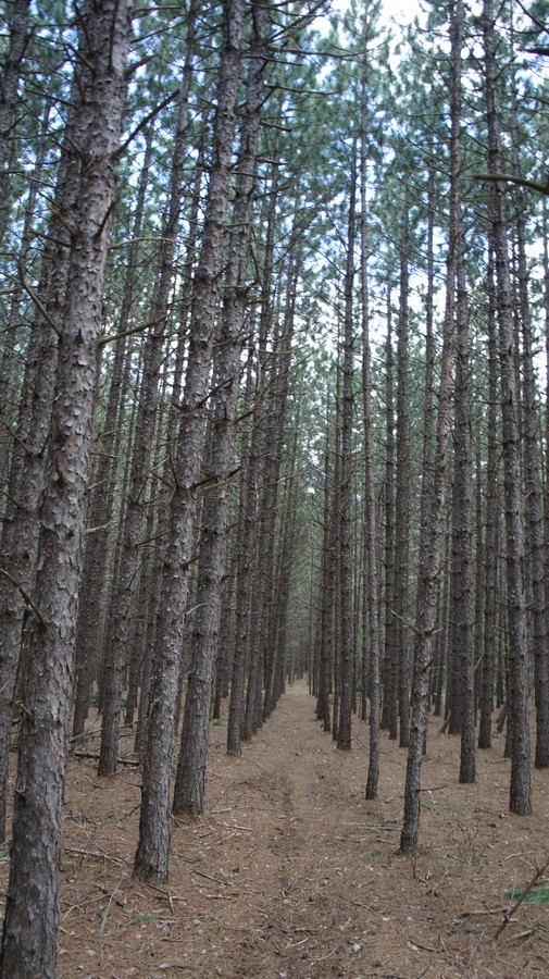 rows of pine trees
