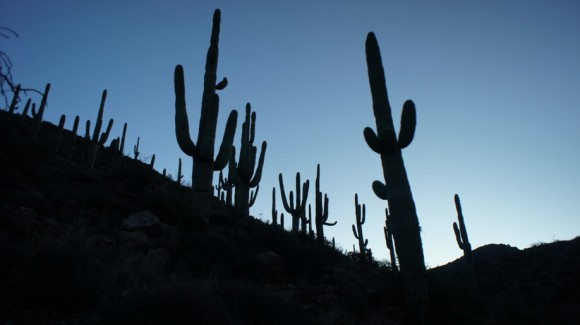 saguaros in the early morning of the superstition wilderness