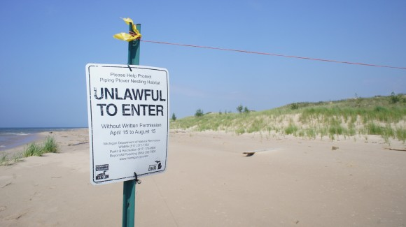 endangered and protected bird piping plover nesting area fenced off ludington state park nordhouse dunes michigan