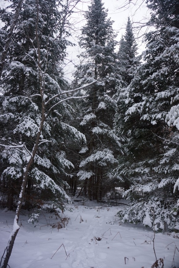 snow covered pine treees in northern michigan