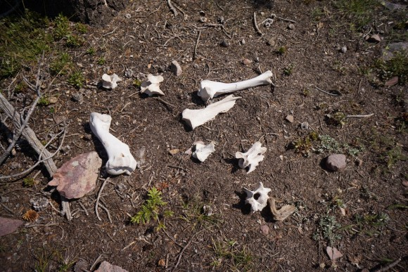 animal bones laying on the ground