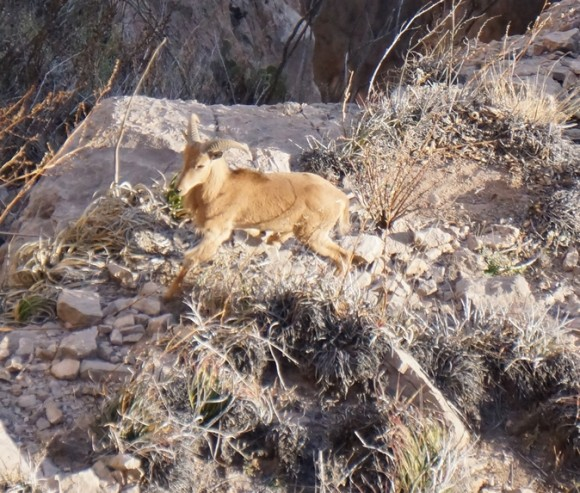aoudad, aka barbary sheep, sighting in big bend national park in mariscal cannyon