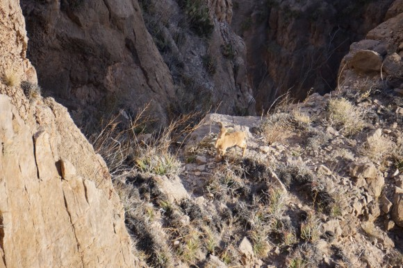 aoudad sighting in big bend