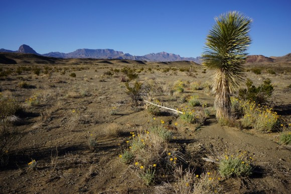 cactus and yellow followws in the desert with mountains in background in big bend