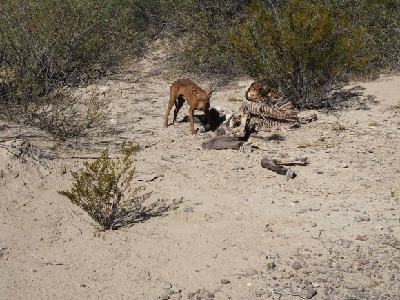 dog defending it's mule carcass outside of boquillas, mexico